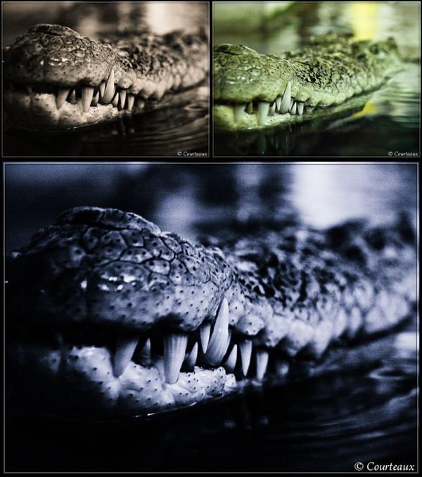 Crocodile noir et blanc